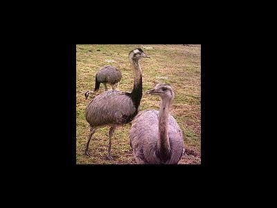 Rheinland-Pfalz: Zwei Nandu-Vögel ergreifen die Flucht