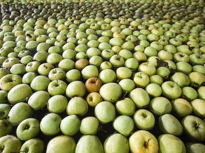 В Новосибирской области уничтожили почти 11 тонн польских яблок