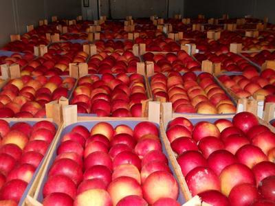 Российские фирмы придумали схемы поставок в РФ санкционных польских яблок