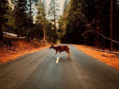 Jak zachować się w przypadku potrącenia dzikiego zwierzęcia