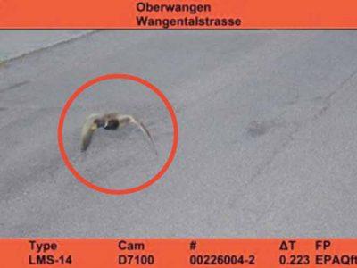 Fotoradar w szwajcarskim miasteczku wyłapał nietypowego pirata drogowego. Mandat zapłaci… kaczka?