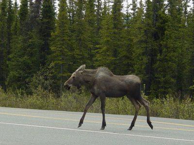 Pastebėjai kelyje laukinį gyvūną? Pažiūrėk, kaip išvengti susidūrimo ir ką daryti įvykus eismo įvykiui