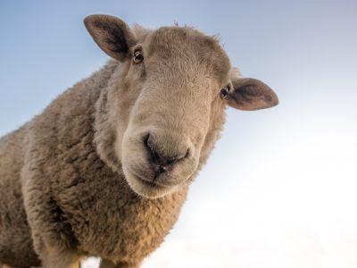 Hollandia radikális korlátozást akar:  az állatok vágóhídra szállítása legfeljebb 8 órát tarthasson