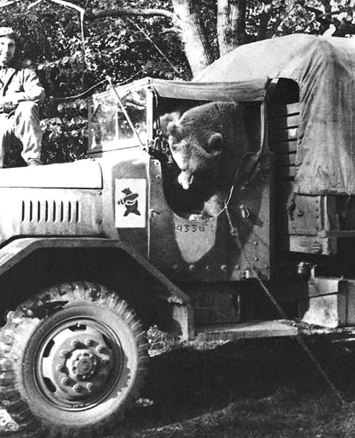 Niedźwiedź Wojtek w kabinie wojskowej ciężarówki.
