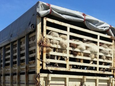 Transport of live animals. See what conditions must be met by the carrier and the driver.