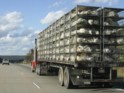 Транспортировка живых животных в Европе, часть 1/2. Проверьте, какие условия должны быть выполнены перевозчиком и водителем