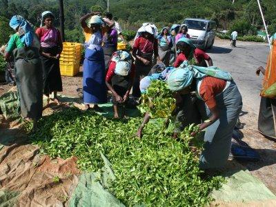 Zakłócone łańcuchy dostaw w Indiach podbijają cenę herbaty