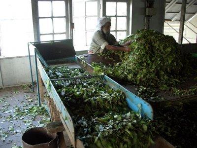 Drágítja a tea árát az ellátási láncok zavara Indiában