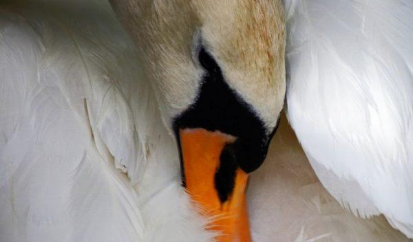 Trucker praised for saving injured swan on Germany's A5 motorway